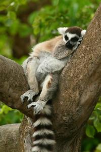 Lazy Lemur