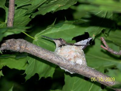 HUMBING BIRD NESTING