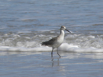 Lori Hannam - Sandpiper on Padre Island
