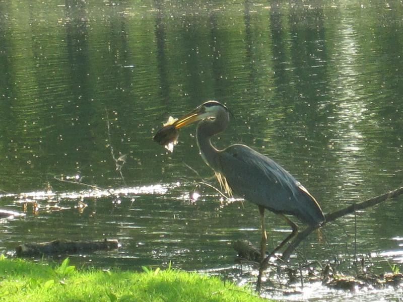 emmie veldhuizen - blue heron with fish