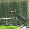 emmie veldhizen - blue heron  with fish