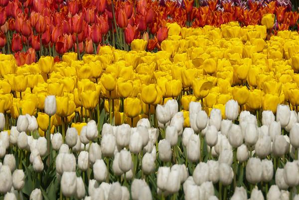 Tulip Festival 2011 Istanbul