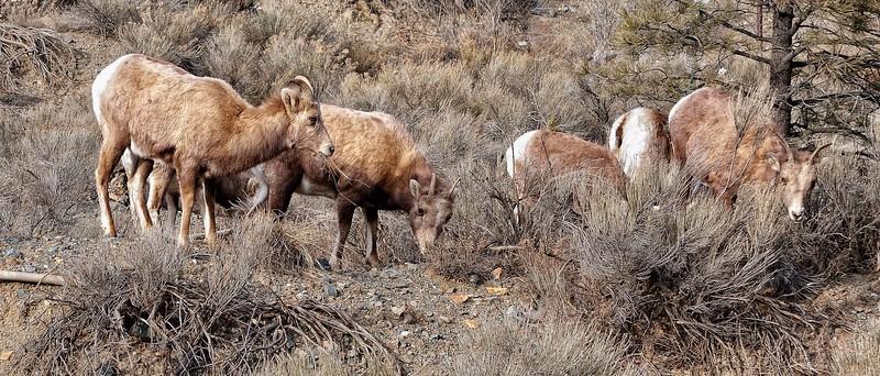 Red River Bighorns