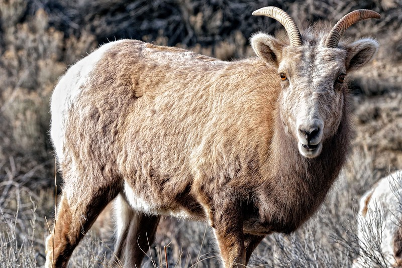 Red River Bighorn