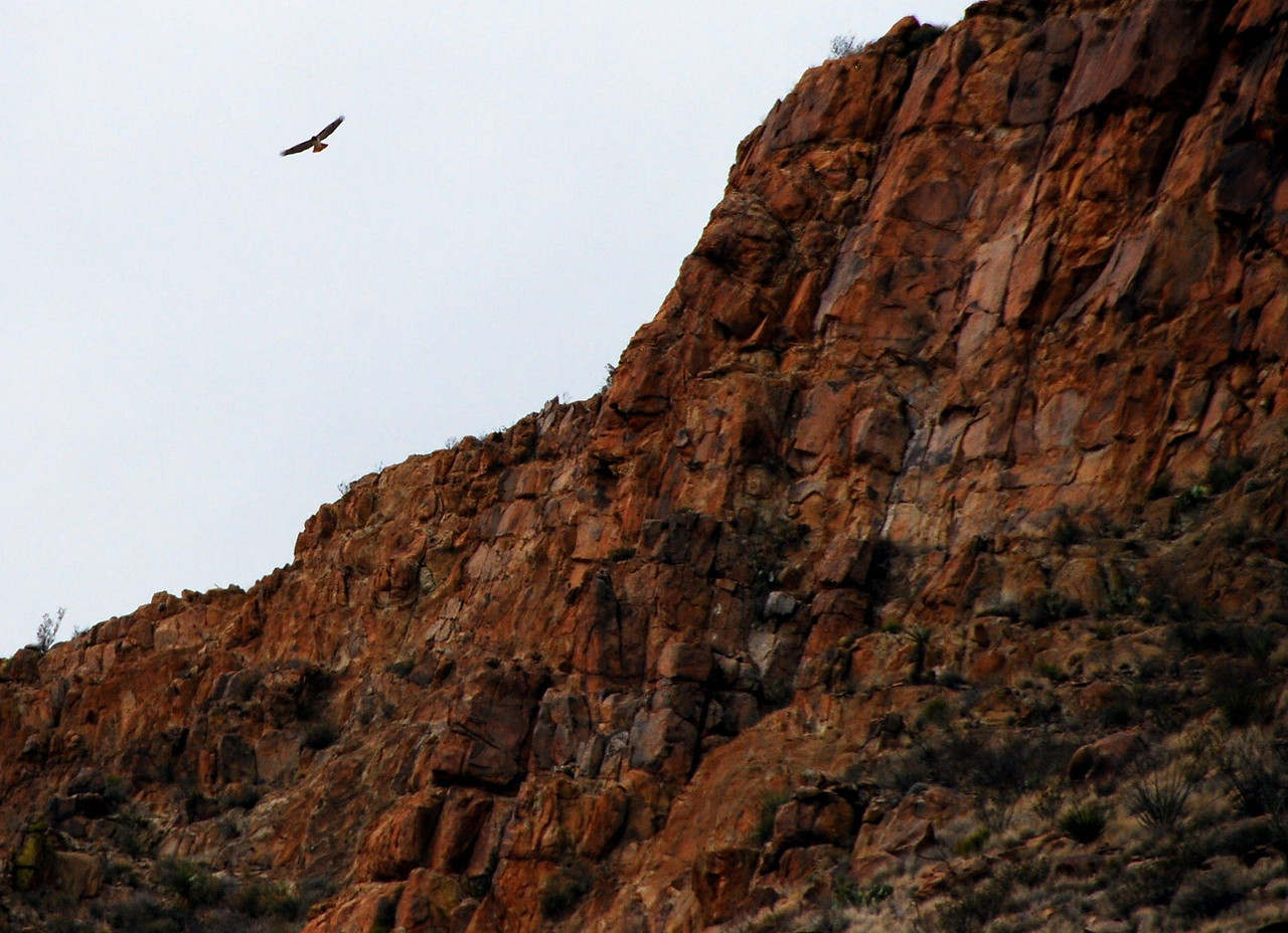 Redtail hawk in Grapevine Hills