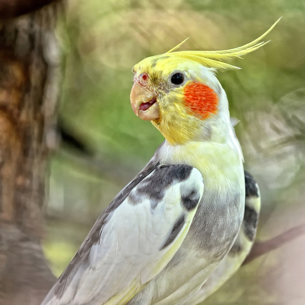 Cockatiel in the aviary