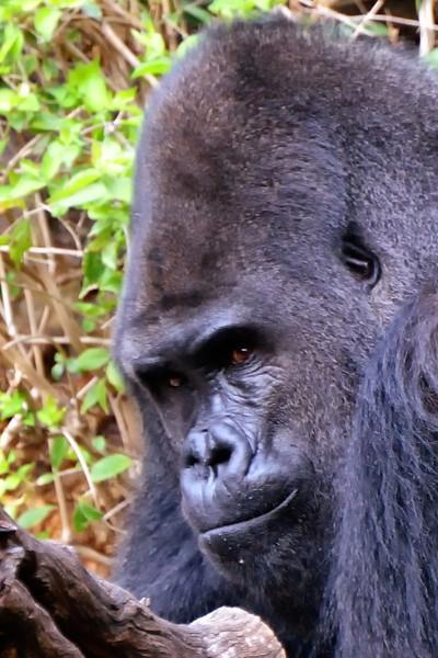 Patrick, a Silverback Gorilla
