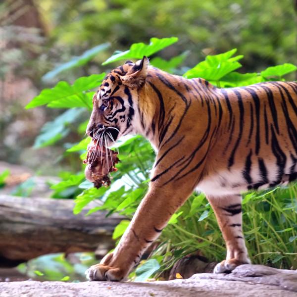 Tiger w/ bone