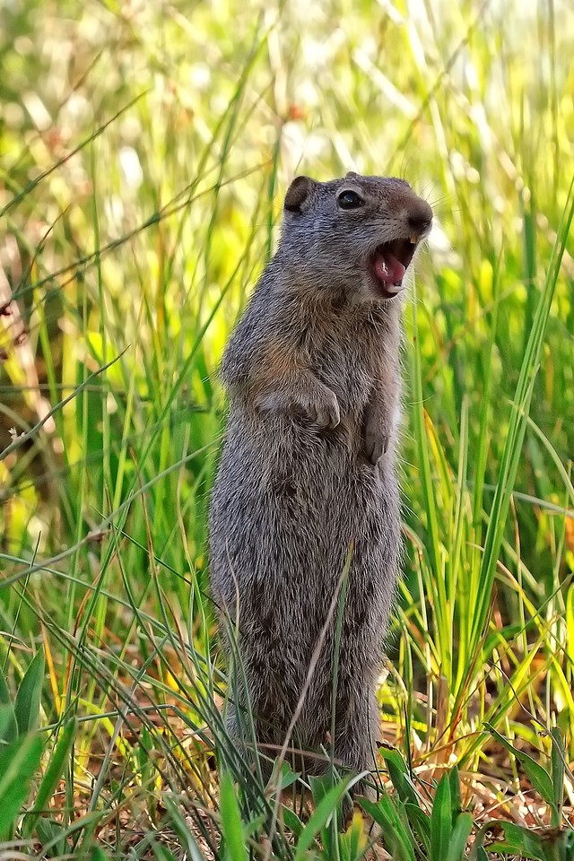 Ground squirrel thinks he's a grizzly
