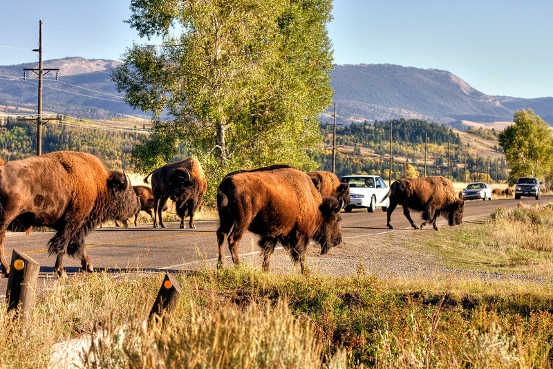 Honey, I'll be late, it's bumper-to-bison out here today...