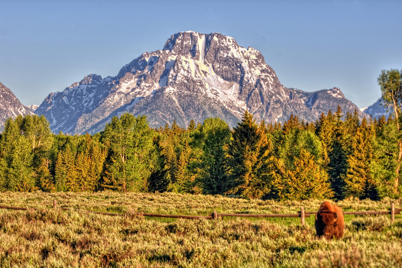 Solo bull bison in front of Mount Moran