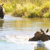 Grand Teton Moose series