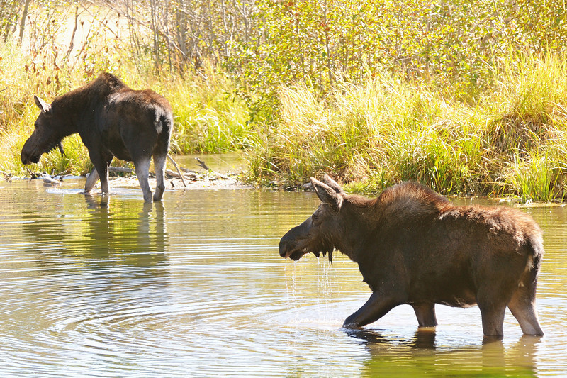 Grand Teton Moose series