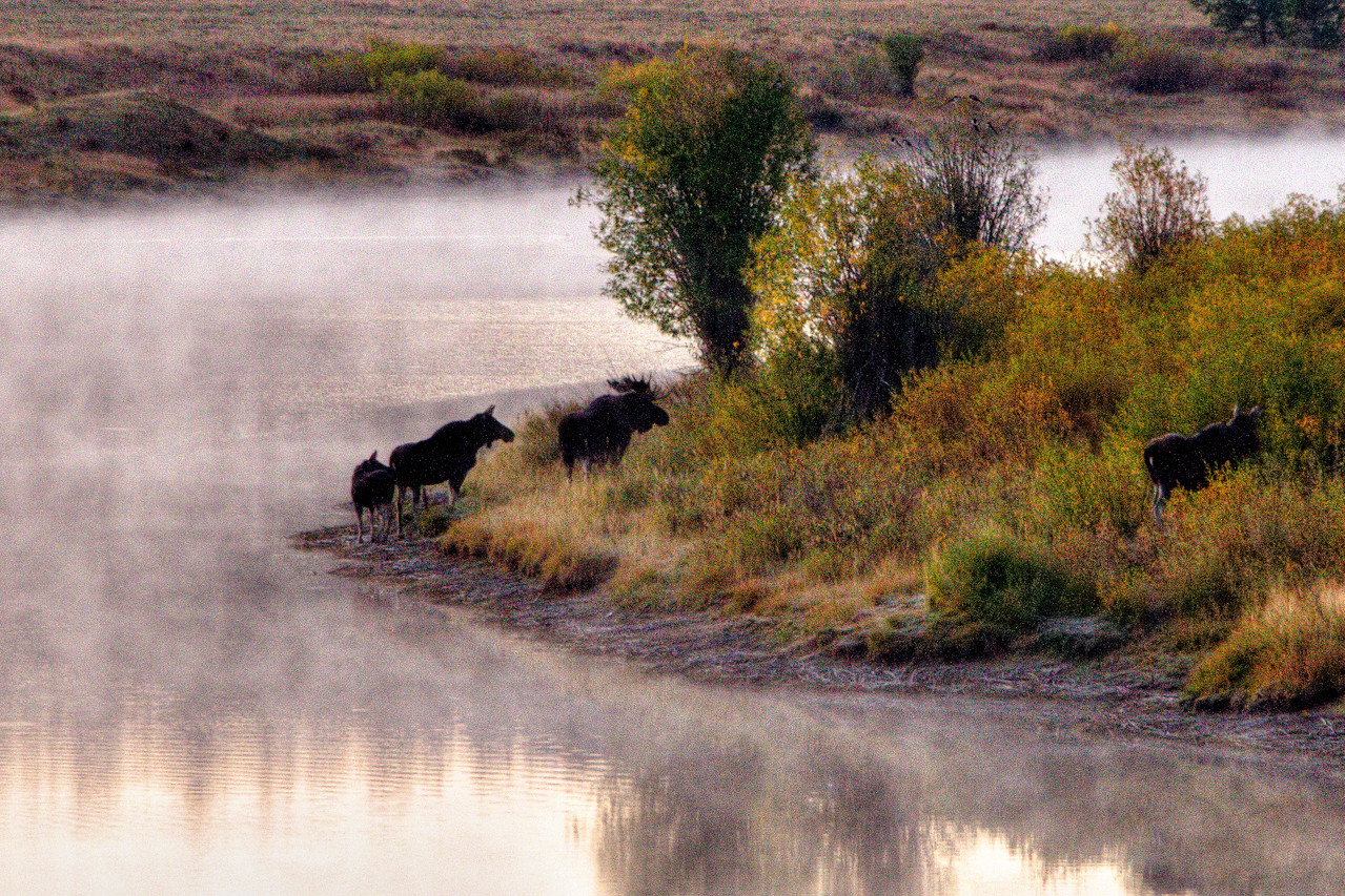 Early morning moose family sighting on the Snake River