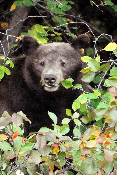 Berry loving black bear
