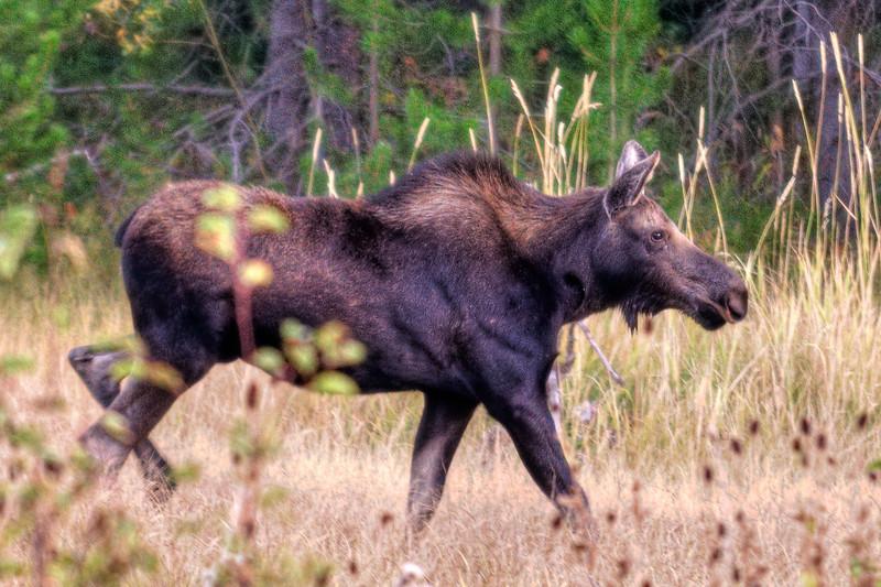 Mama Moose on a mission