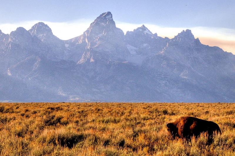 Bison in Grand Teton National Park