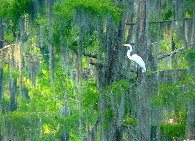 Great Egret, Caddo Lake, Texas