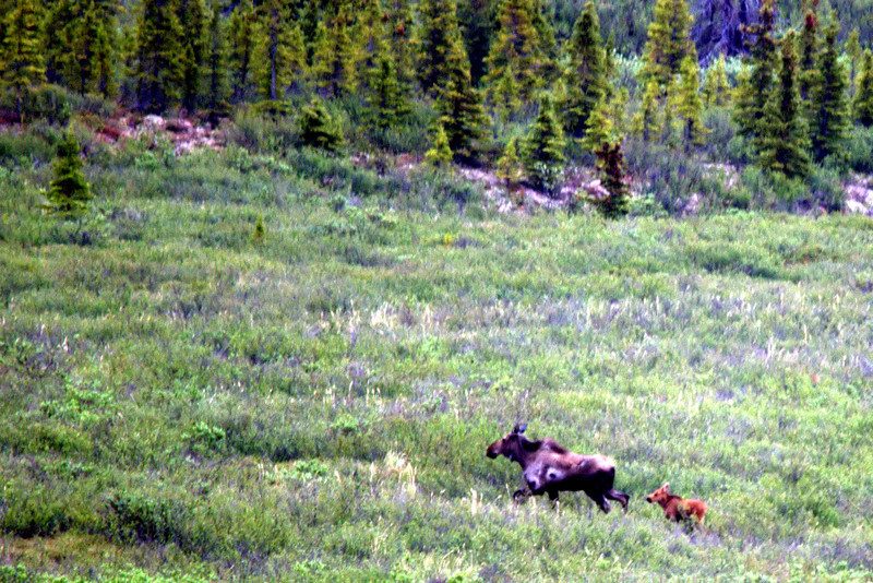 Moose with newborn in Denali National Park