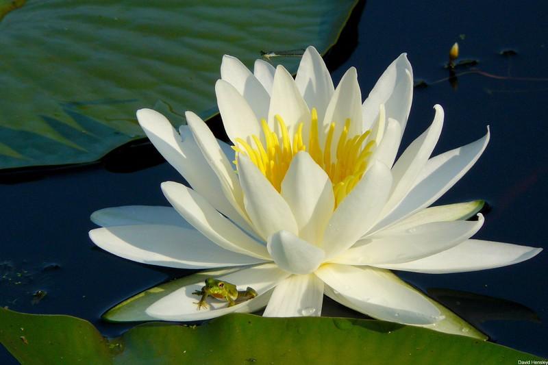 Frog on Lily Pad, Caddo Lake, Texas