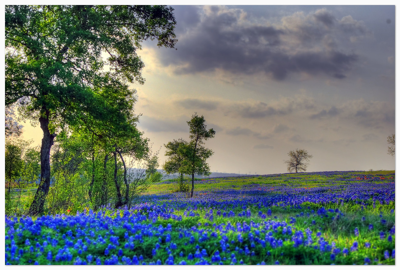 Bluebonnets abundant on Sugar Ridge Road (Explored Mar 31, 2009 #403)