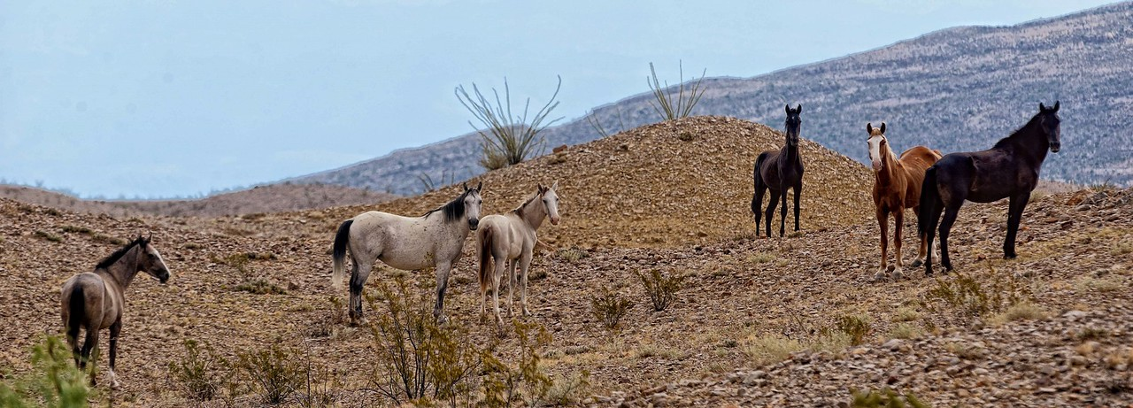 Wild horses in the Big Bend backcountry
