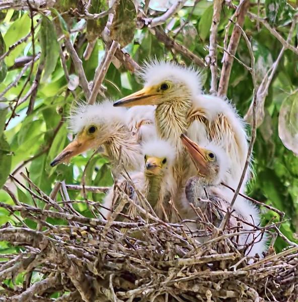 Snowy egret sibs