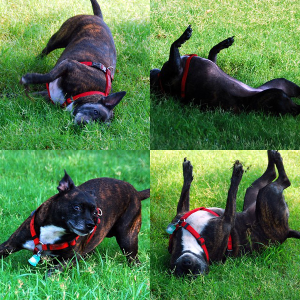Roxie rolling in the grass