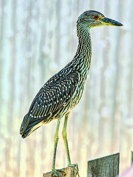 Juvenile yellow crowned night heron
