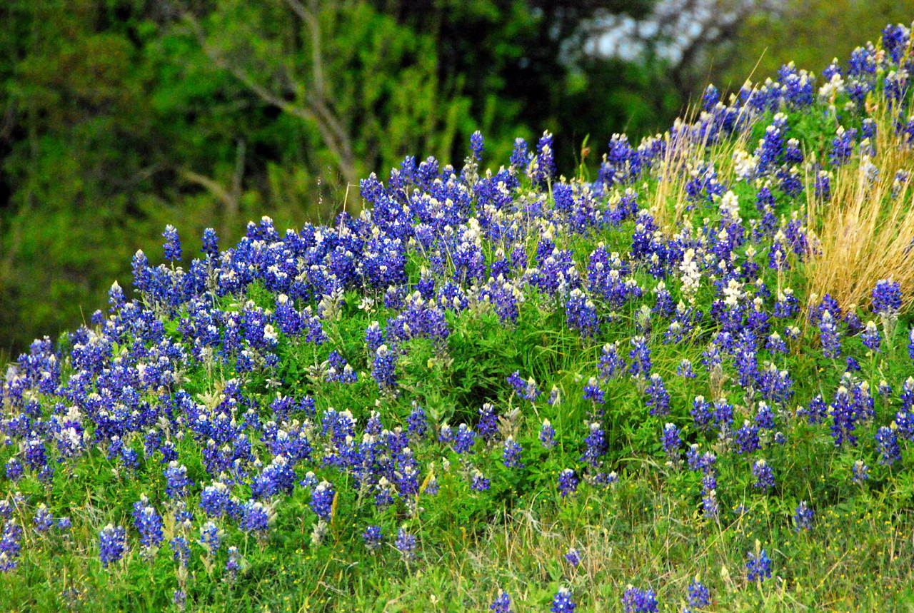 Texas bluebonnets near Nocona