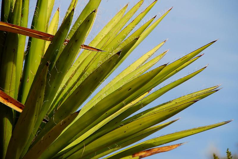 Torrey Yucca
