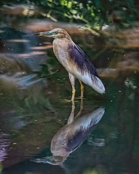 Indian pond heron at Leela Palace garden