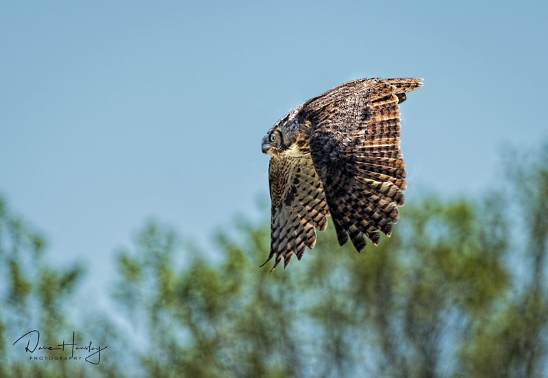 Great horned owl in flight
