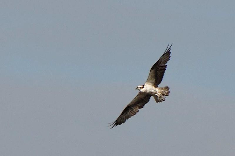 Osprey - Armand Bayou - Houston