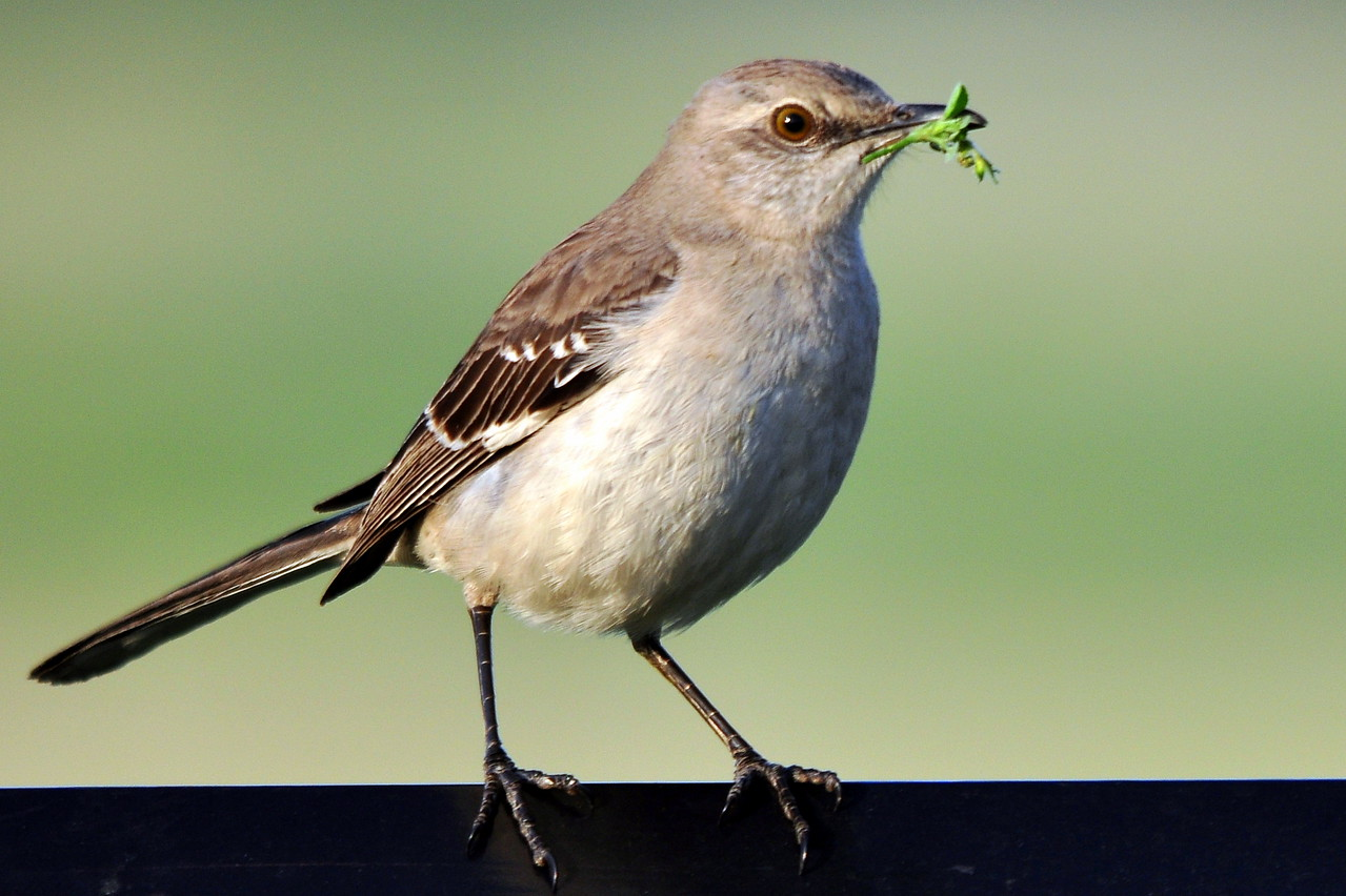 Mockingbird happy to pose for a portrait