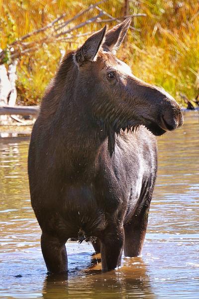 Concerned Moose