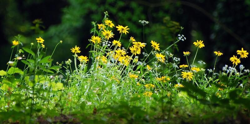 Sunflowers at Hideaway Lake