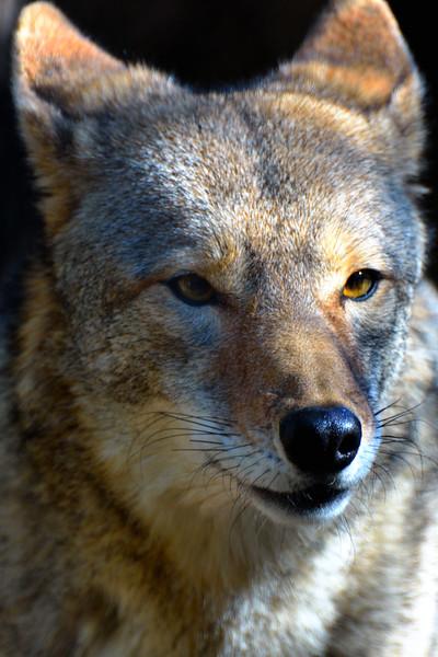 Texas coyote