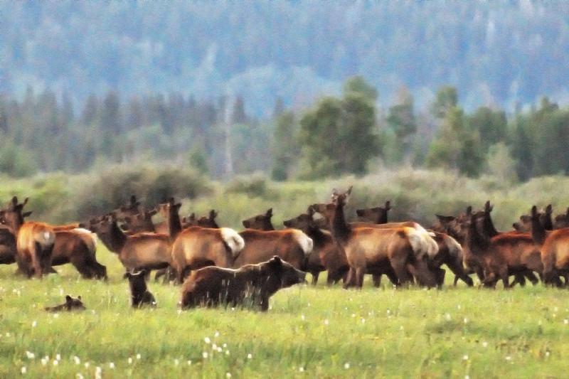 Elk - it's what's for dinner