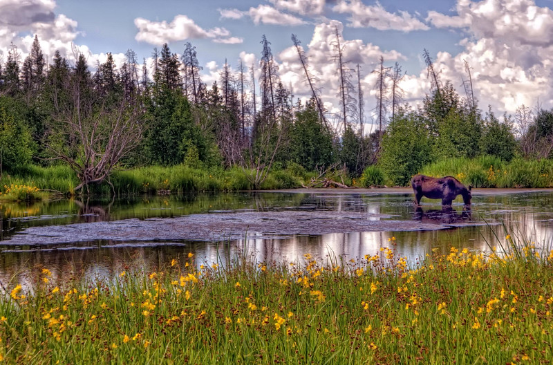 Moose in the pond on Moose Wilson Road