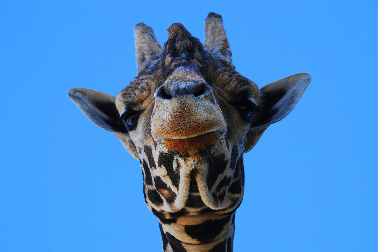 Giraffe from a typical angle