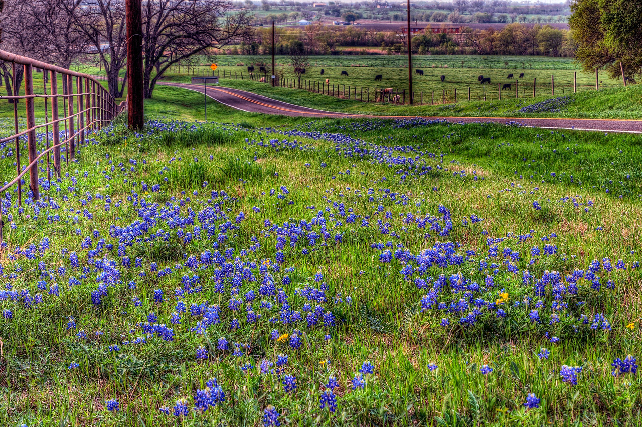 The Bluebonnet Trail