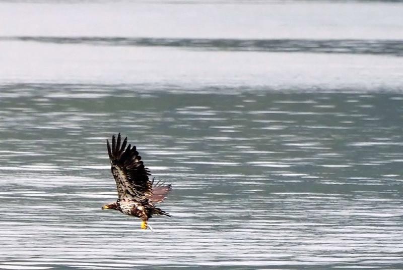 Juvenile bald eagle learning to fish