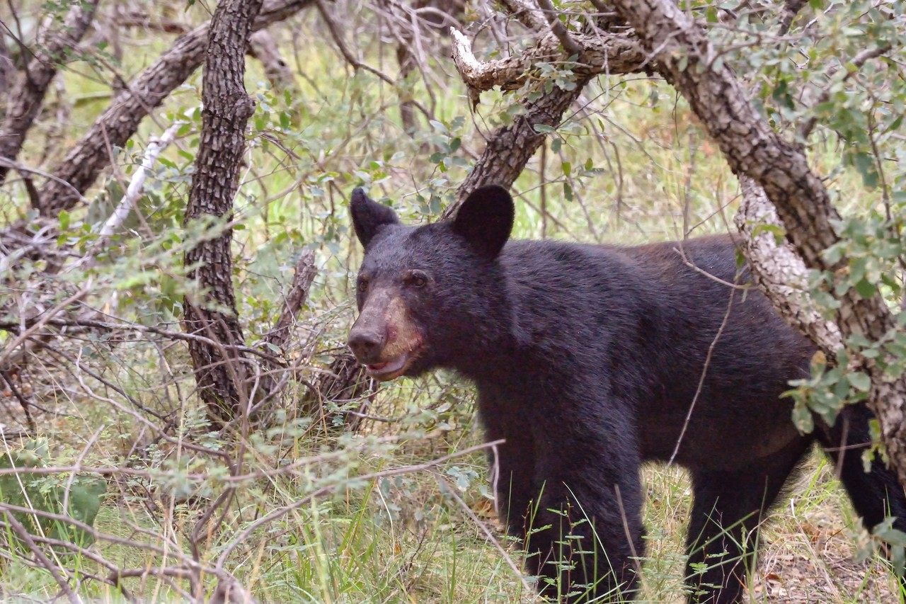 Black bear cub, Big Bend NP