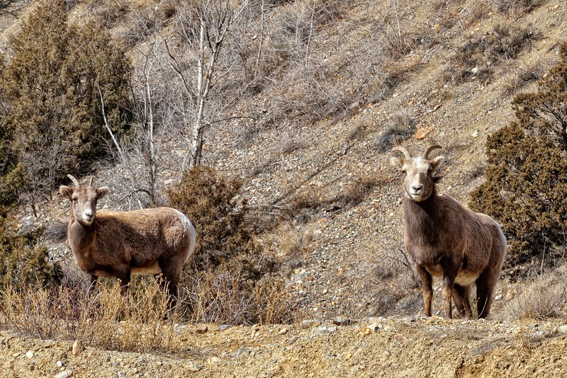 Red River Bighorns