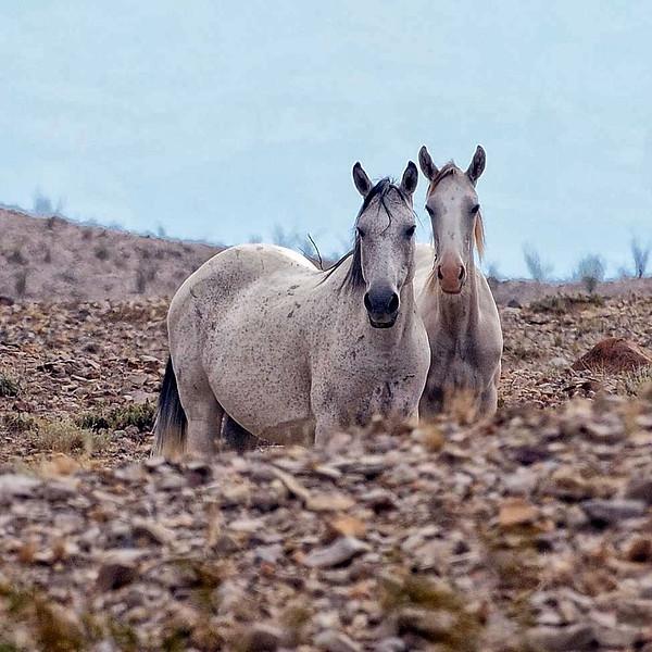 Big Bend wild horses