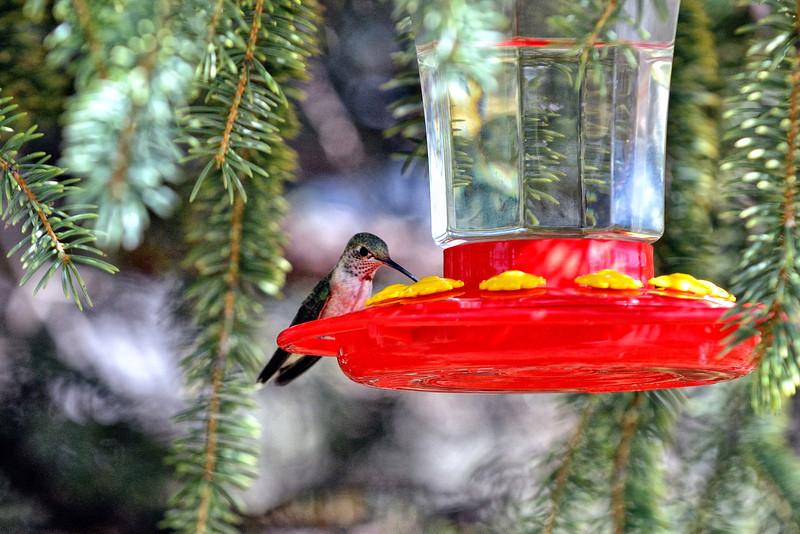 Taos hummingbird