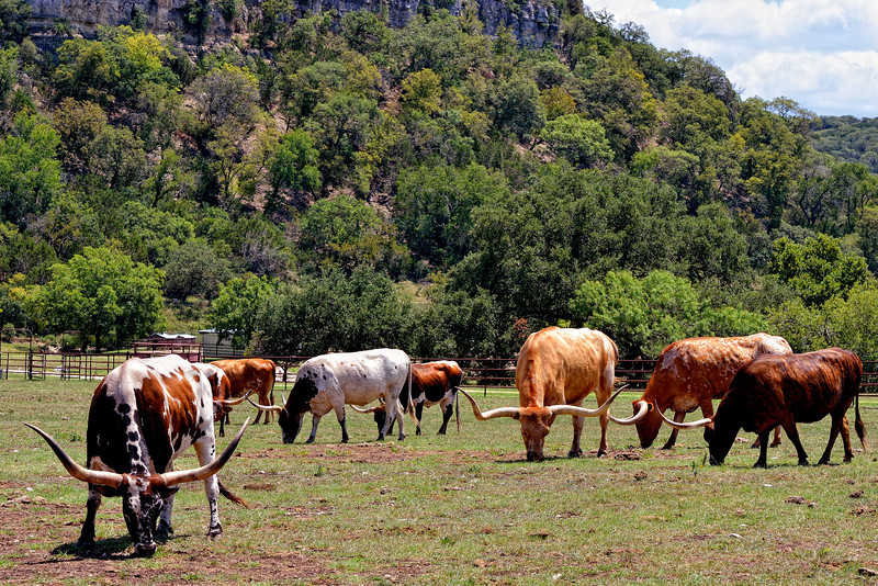 Longhorn herd in the Texas hill country