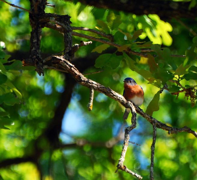 East Texas Bluebird