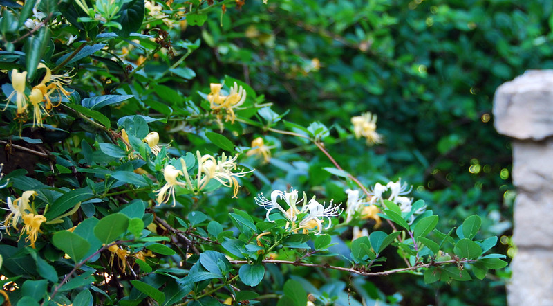 Texas honeysuckle